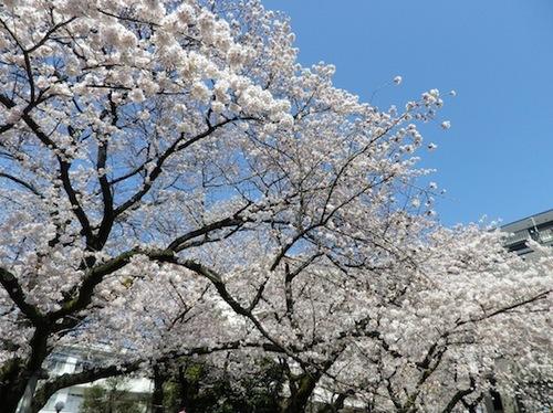 2012桜1.JPG